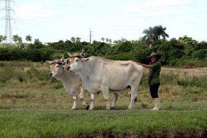 Ein kubanischer Bauer mit Ochsengespann